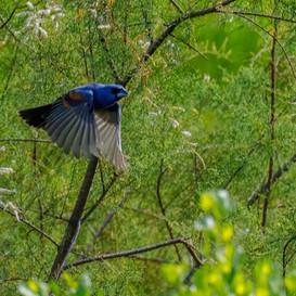 Blue Grossbeak in flight
