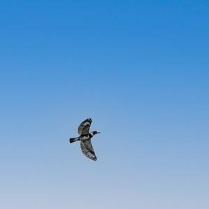 Belted Kingfisher in flight.jpg
