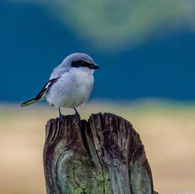 Loggerhead Shrike on post