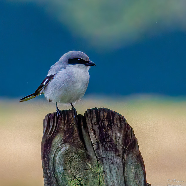 Loggerhead Shrike on post
