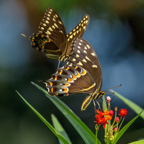 Swallowtail Tag