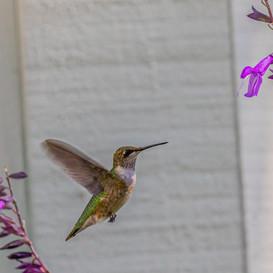 Ruby Throated Hummingbird late fall