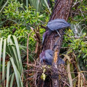 Little Blue Heron building nest