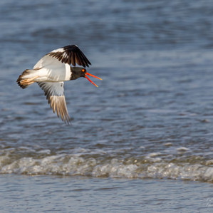 American Oyster Catcher Flying while Tal