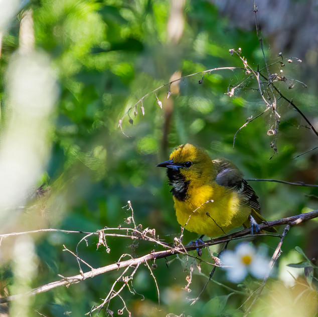 Orchard Oriole first year male Althama