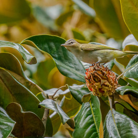 Red-eyed Vireo in magnolia