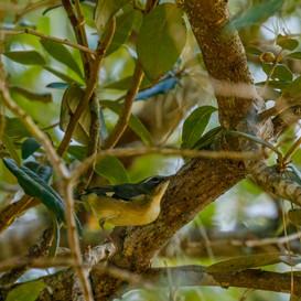 Black-throated Blue Warbler female