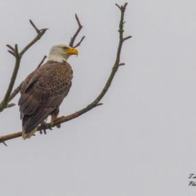 Bald Eagle in Fog
