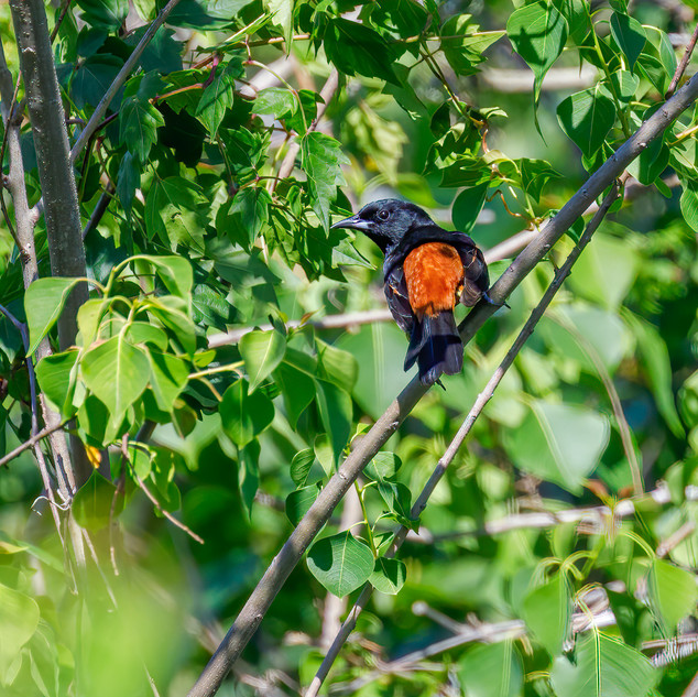 Orchard Oriole adult male rear