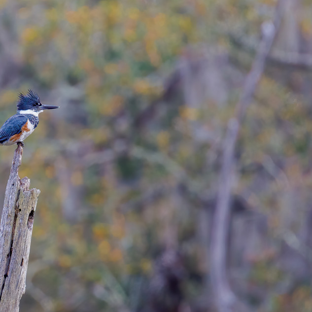 Belted Kingfisher on profile