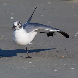 Laughing Gull Yoga