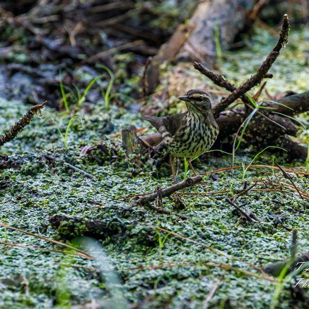 Northern Waterthrush 3