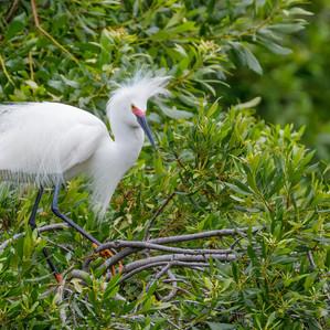 Snowy Egret breeding plummage profile.jp