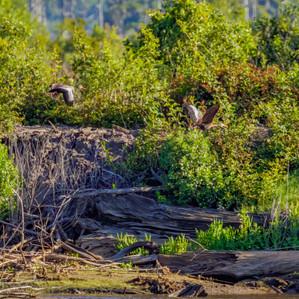 Black-bellied Whistling Ducks in flight