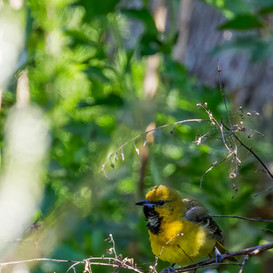 Orchard Oriole first year male