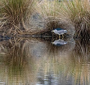 Black Crown Night Heron Reflection