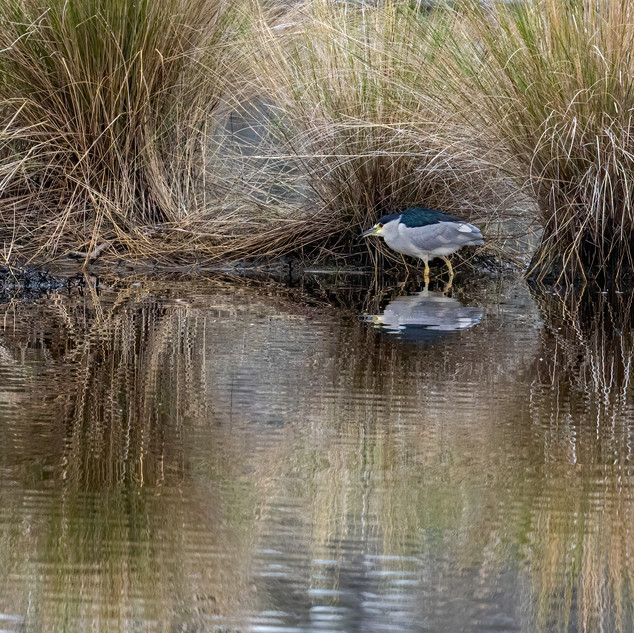 Black Crown Night Heron Reflection