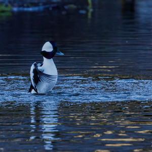 Bufflehead duck male posturing