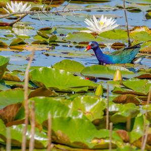 America Purple Gallinule swimming