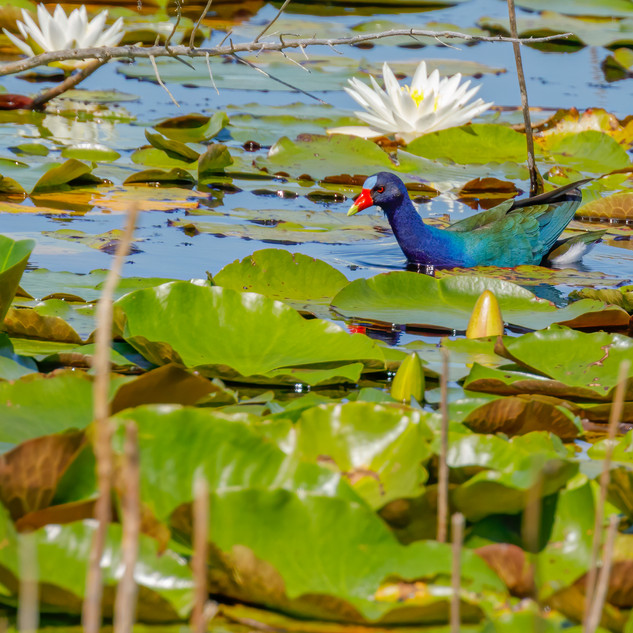 America Purple Gallinule swimming