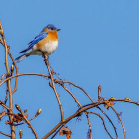 Bluebird Spring 2021