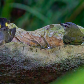 American Redstart and Red-eyed Vireo in