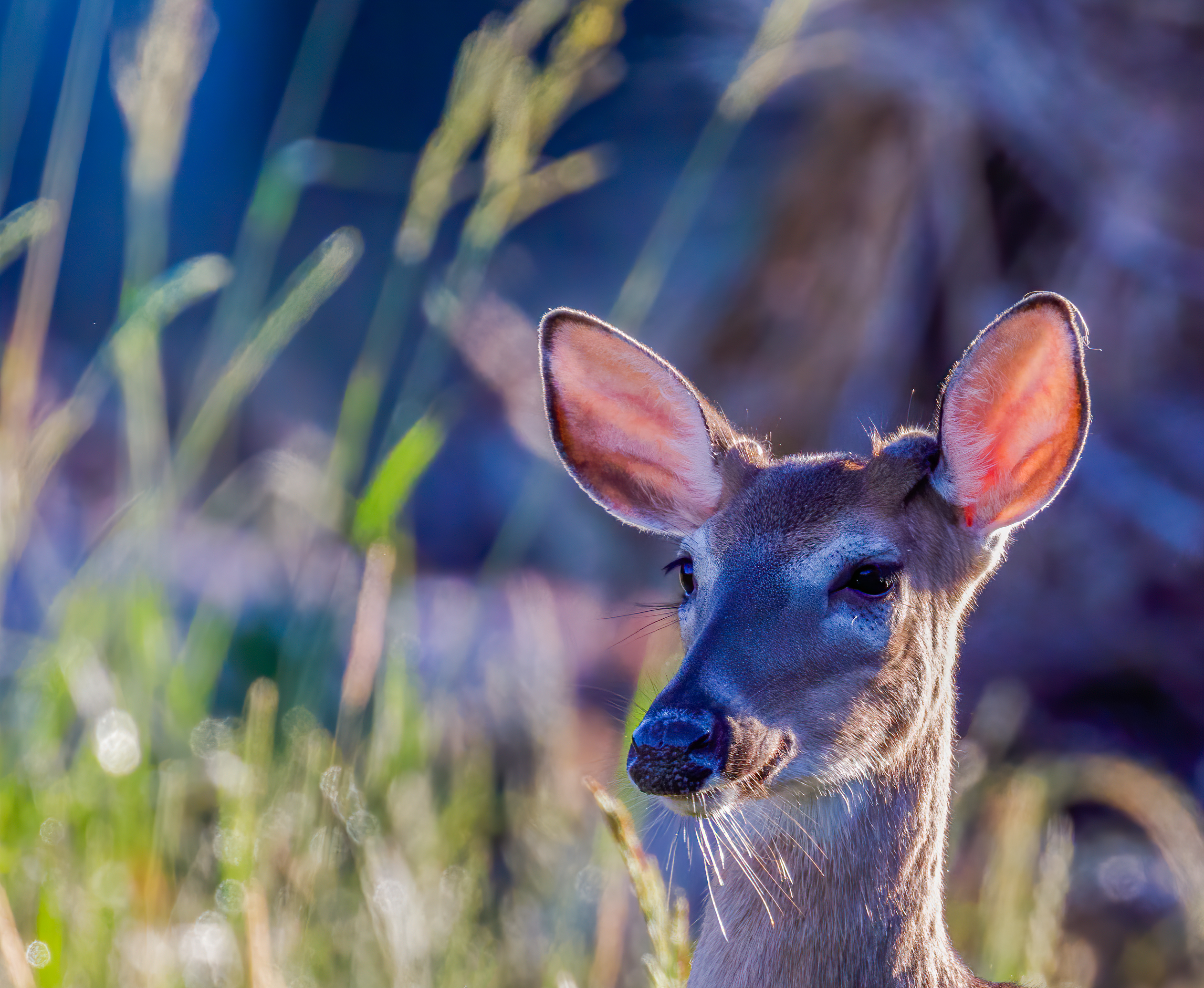 White-tailed Deer hairy chin