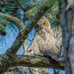 Baby Great Horned owl framed