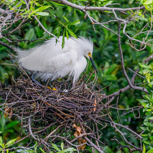 Snowy Egret on nest
