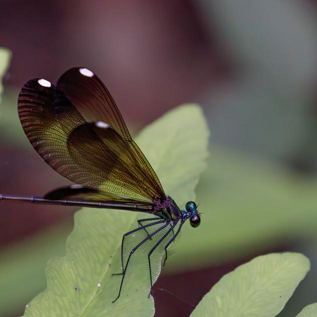 Black-winged Damselfly