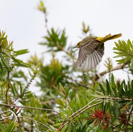 Orchard Oriole in flight.jpg