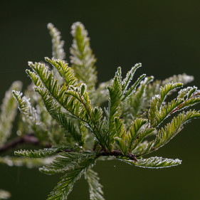 Dew covered Cypress