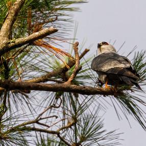 Mississippi Kite in pine