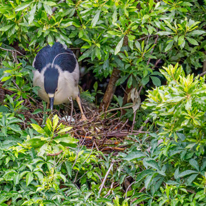 Black-crowned Night Heron on nest