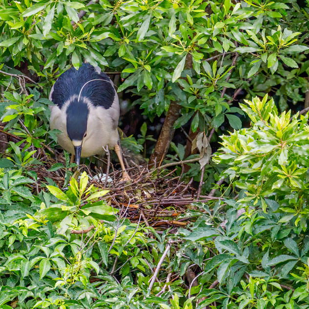 Black-crowned Night Heron on nest