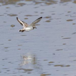 Piping Plover in flight.jpg