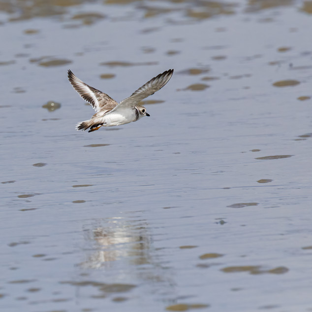 Piping Plover in flight.jpg