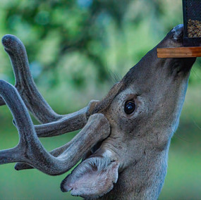 Deer at Feeder