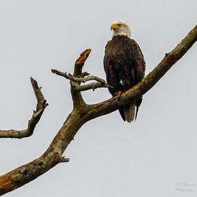 Bald Eagle searching