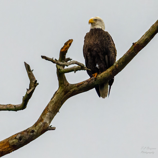 Bald Eagle searching