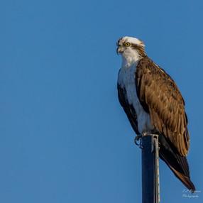 Osprey on Mast
