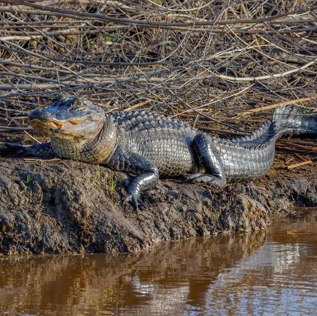 Lounging Alligator