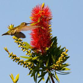 Ruby throated Hummingbird on bottlebush