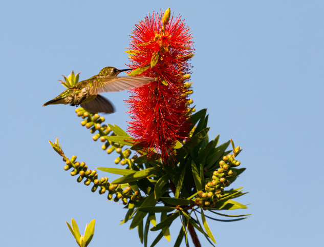 Ruby throated Hummingbird on bottlebush