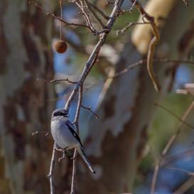 Loggerhead Shrike in Sycamore