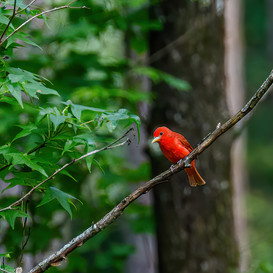 Summer Tanager in tree