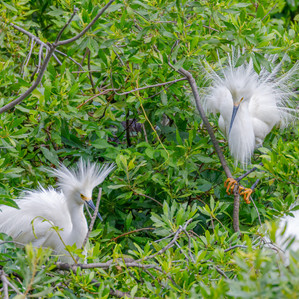 Snowy Egrets breeding plummage