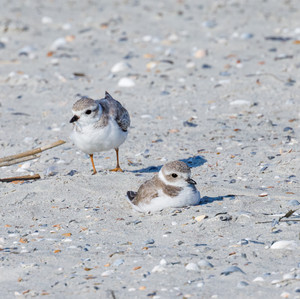 Piping Plover trio
