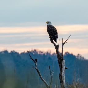 Eagle in snag