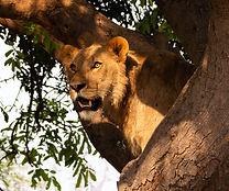Lion in tree 4.jpg